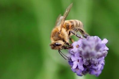 Пчела върху лавандула - тревната ролка елиминира пръскането с инсектициди