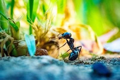 Мравка сред семената на трева в градината
